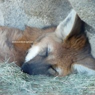 sd maned wolf