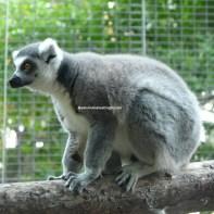 sd safari lemur