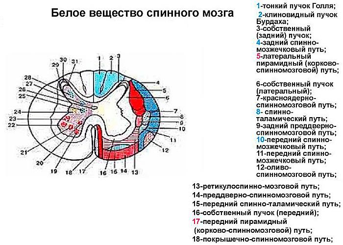 Реферат - Белое вещество спинного мозга, проводящие пути спинного мозга