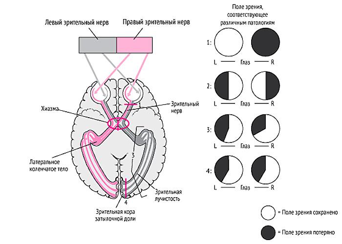 Реферат - Классификация рецептивных полей зрительной коры