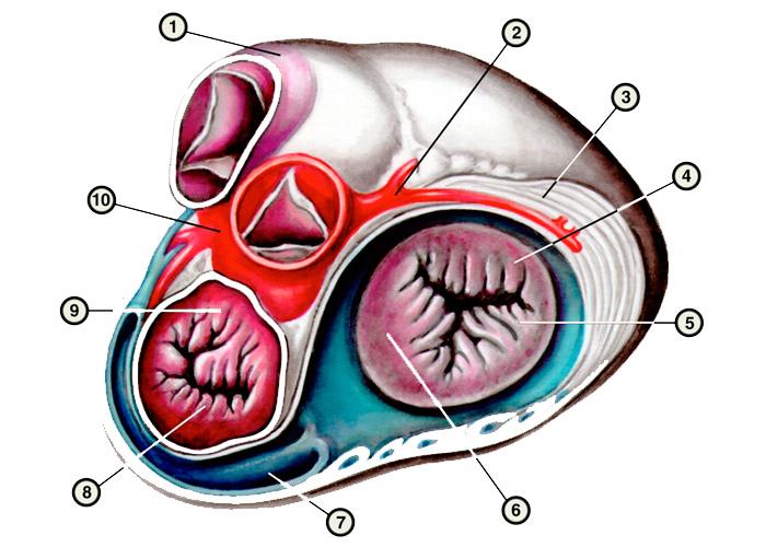 Конституционные характеристики размеров, формы и массы сердца человека