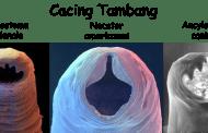 Cacing Tambang (Hook Worm)