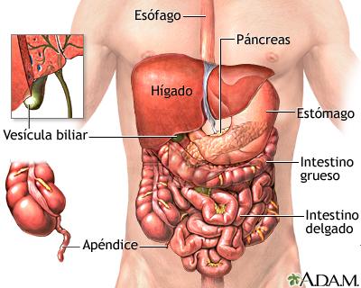 Órganos abdominales