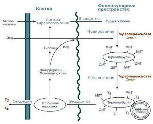 Секреция и обмен тиреоидных гормонов