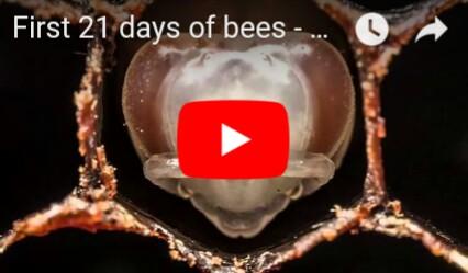 Prvih 21 dana u zivotu pcele(video)