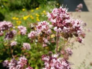 Origano/Vranilova trava -Medonosno bilje