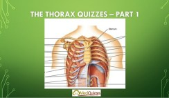 The Thorax 1
