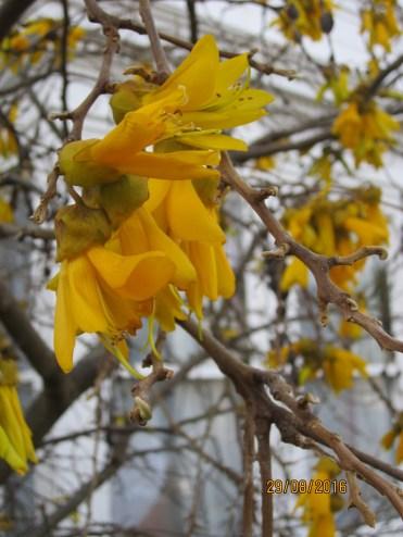 Kowhai tree blooming