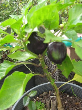 This capsicum plant is not big enough to grow four capsicums, but it's trying so hard anyway!
