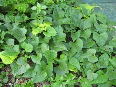 Kumara vines are leafing beautifully - here's hoping for some kumara too