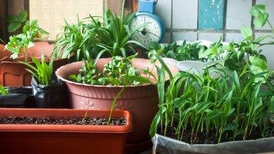 Photo of Як і коли сіяти розсаду перцю і ще 5 справ в лютому – для майбутнього врожаю. Коли сіяти перець на розсаду за місячним календарем у 2017 р.