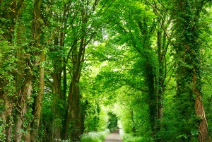 Pathway through trees