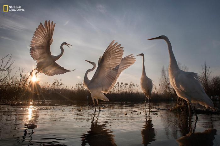 «Большие белые цапли взлетают». Третье место в категории «Действие». В 1921 году в Венгрии оставалась всего 31 пара больших белых цапель. Но усилия по спасению вида были не напрасны: сейчас в стране живут более трех тысяч пар птиц, и популяция продолжает расти. Фото: Zsolt Kudich / 2016 National Geographic Nature Photographer of the Year