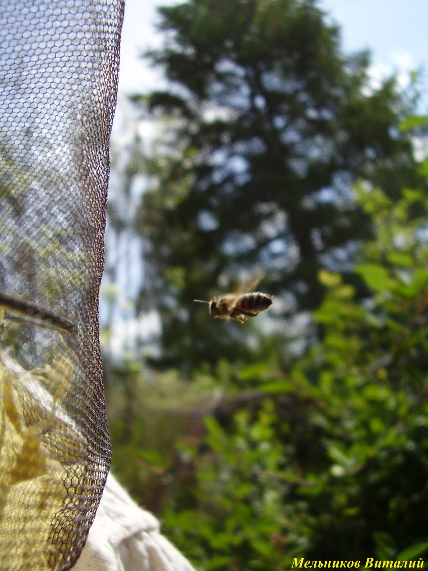 интерес пчел