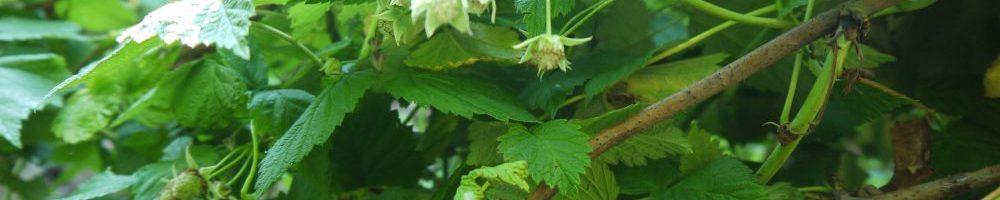 садовая малина
