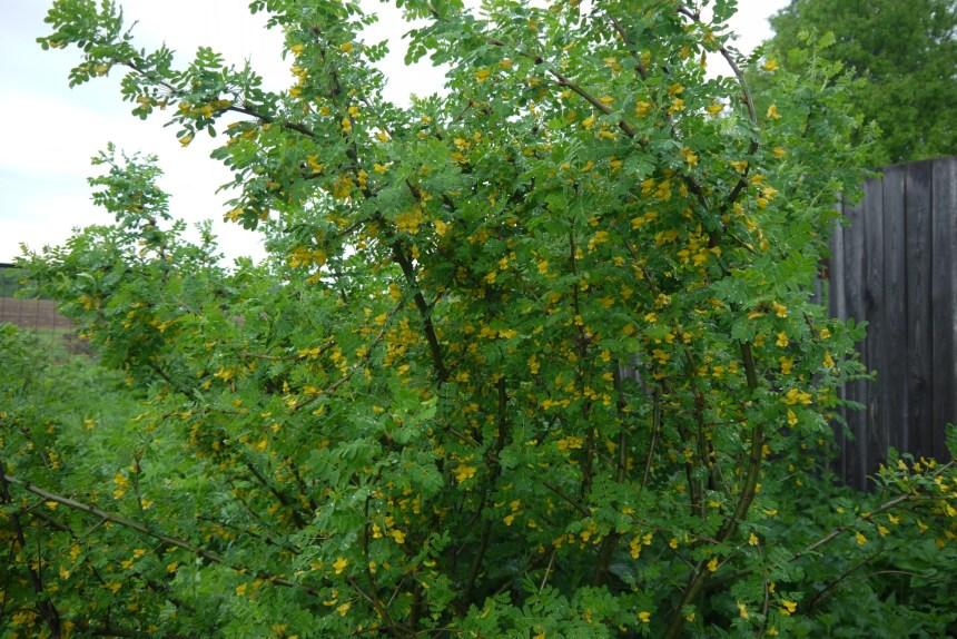 фото акации желтой (караганда)