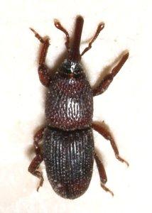 Zrniar čierny (Sitophilus granarius), Wikipedia
