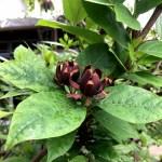 クロバナロウバイ(黒花蝋梅)が咲きました