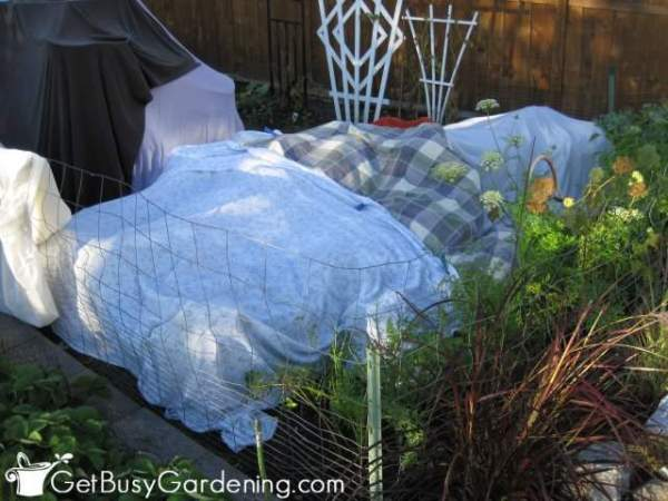 protectingplantfromfrostusingoldbedsheets