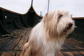 Skipperhund