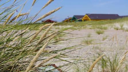 Strandhafer
