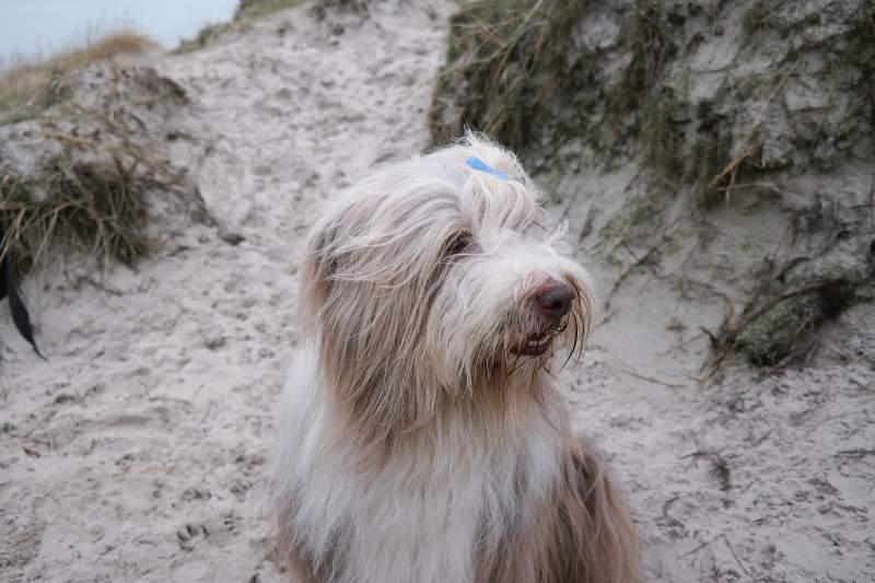Hund in den Dünen