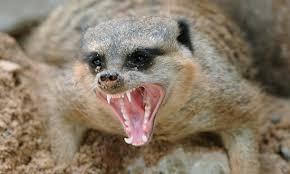 angrymeerkat
