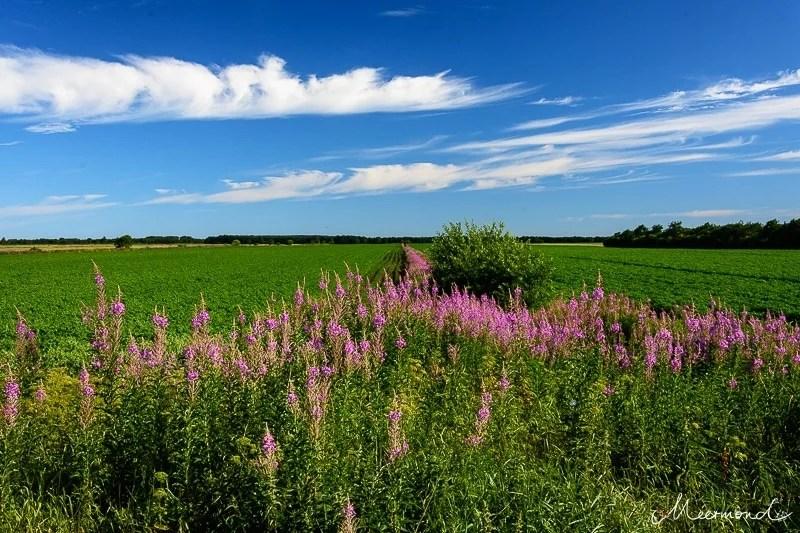 Dänemark Weidenröschen Felder