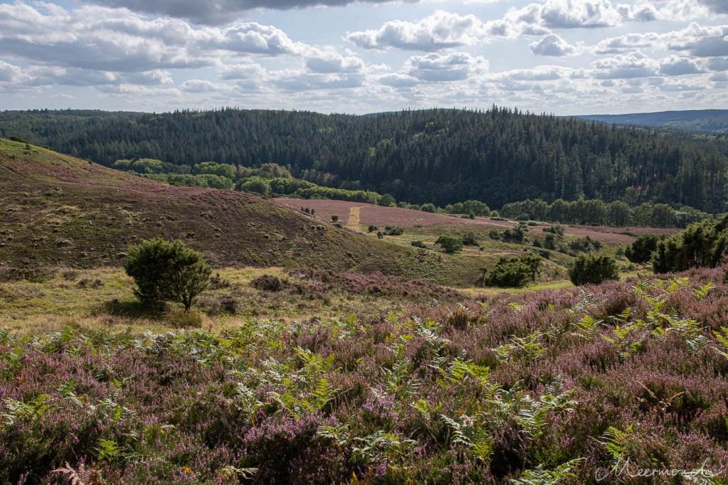 Naturpark Rebild Bakker mit blühender Heide
