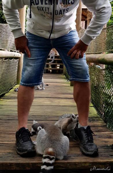 Lemuren lecken Schuhe ab