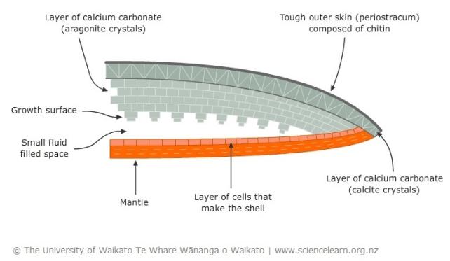 acidificazione degli oceani: crescita conchiglia