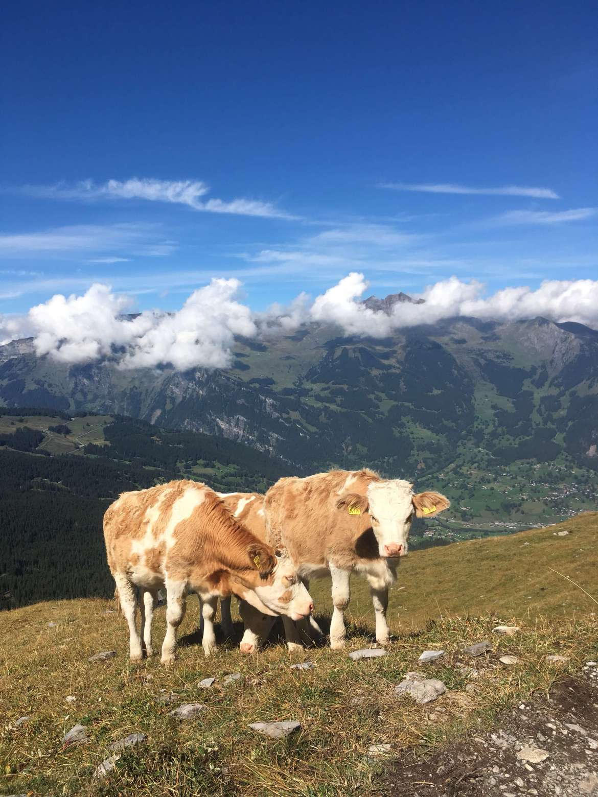 Swiss cows, with cowbels block the path on the Eiger trail in Switzerland