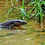 Monitor Lizard Jungle Trek Bukit Lewang