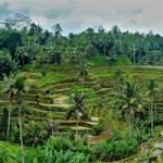 Paddy fields Ubud