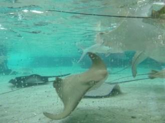 Watching Stingrays underwater