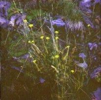 Fleurs de montagne après retouche