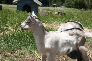 One of three super cute baby goats