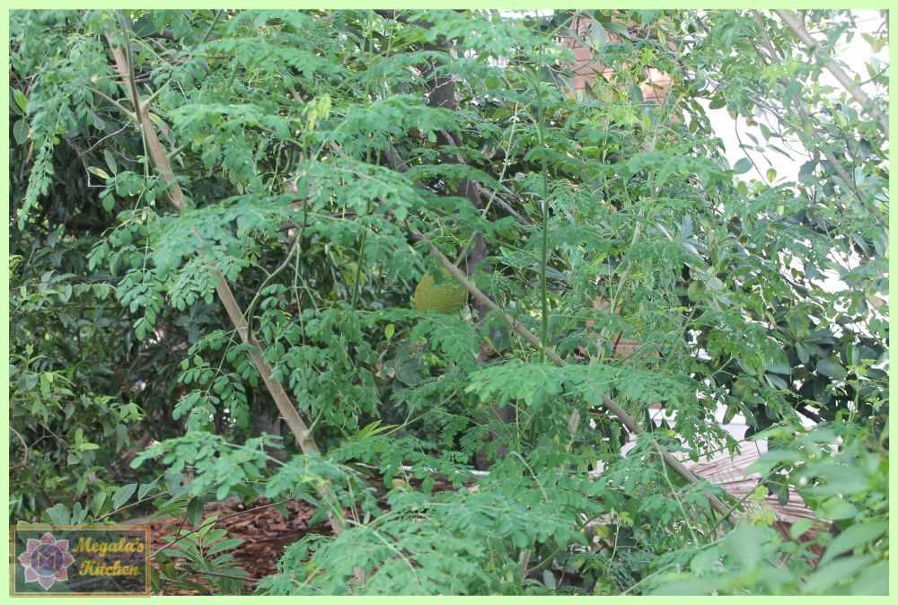 moringa tree.JPG