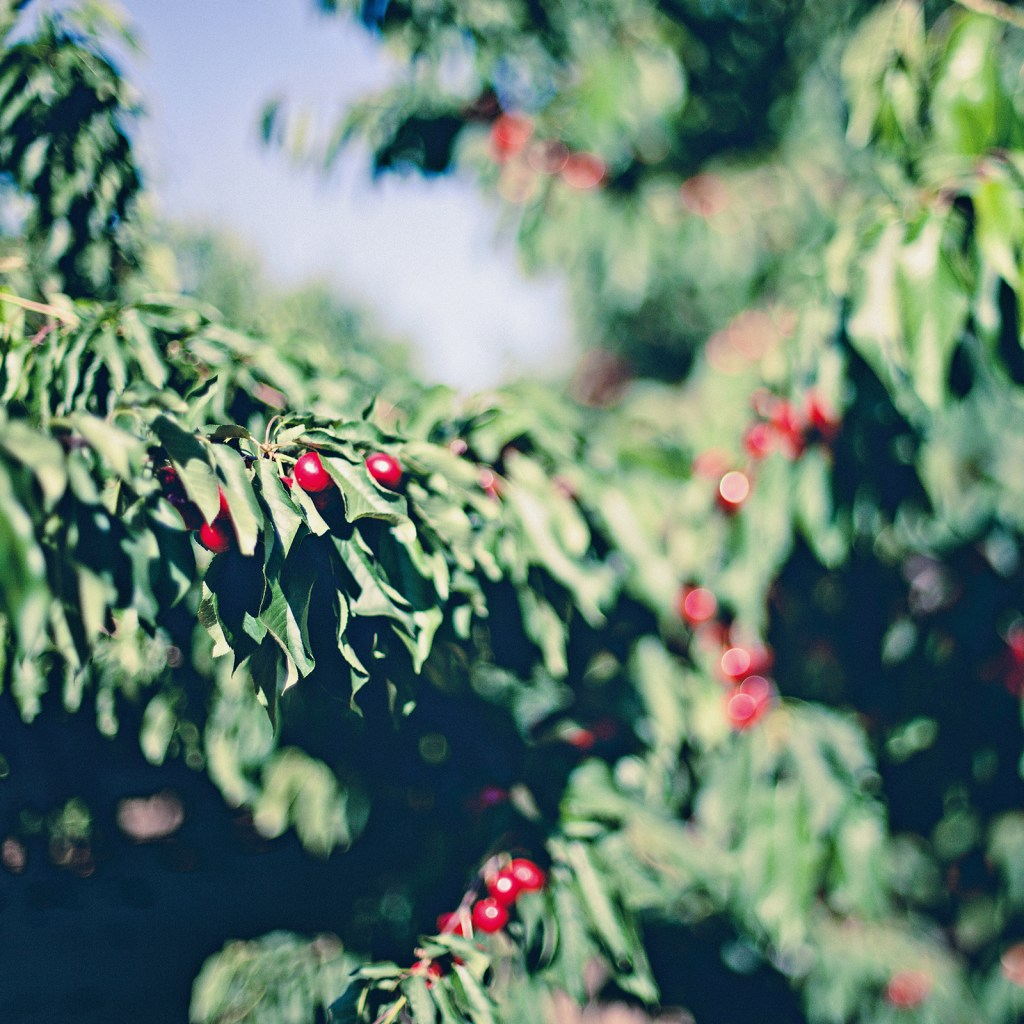 Free lensing cherry branches