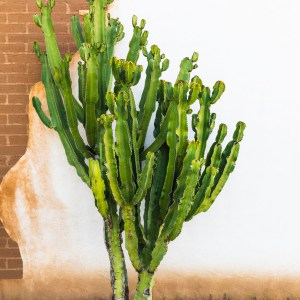 A large cactus in front of a stucco and brick wall.