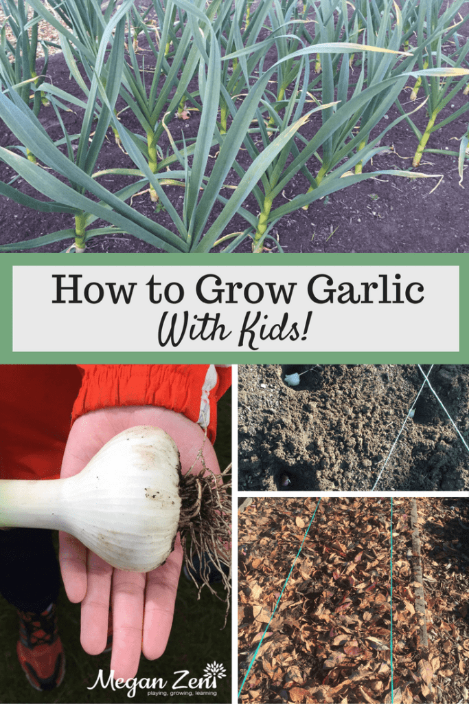 How to grow garlic with kids