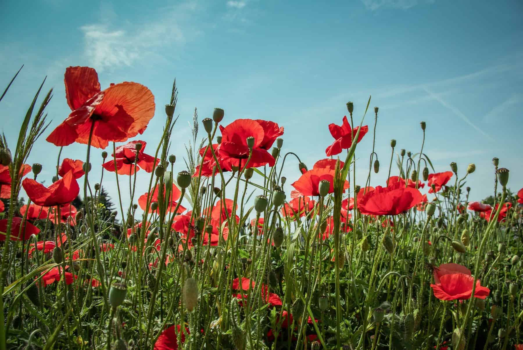 Flander S Field Poppies