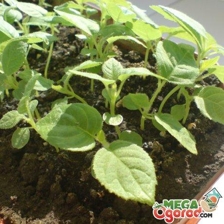 Можно ли выращивать киви в домашних условиях?