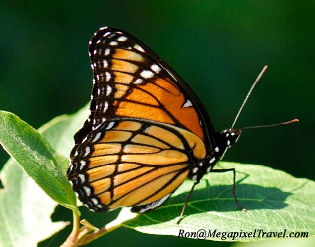 _LND2973-Viceroy-butterfly