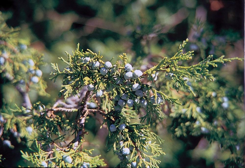 North American Cupressaceae (2/3)