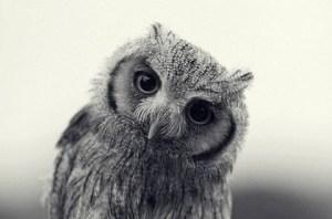 the owl stare