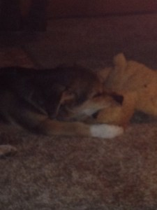 He fell asleep while chewing on his toy bear!