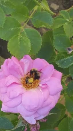 The bumblebees love the pink roses