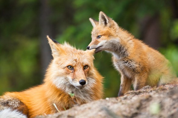 fox-kit-and-mom