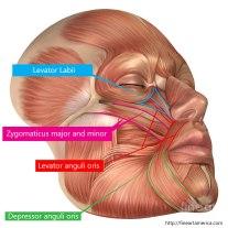 fineartamerica.com – Anatomy Of Human Face Muscles.